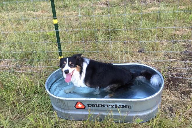 herding dog   Cacia Farms