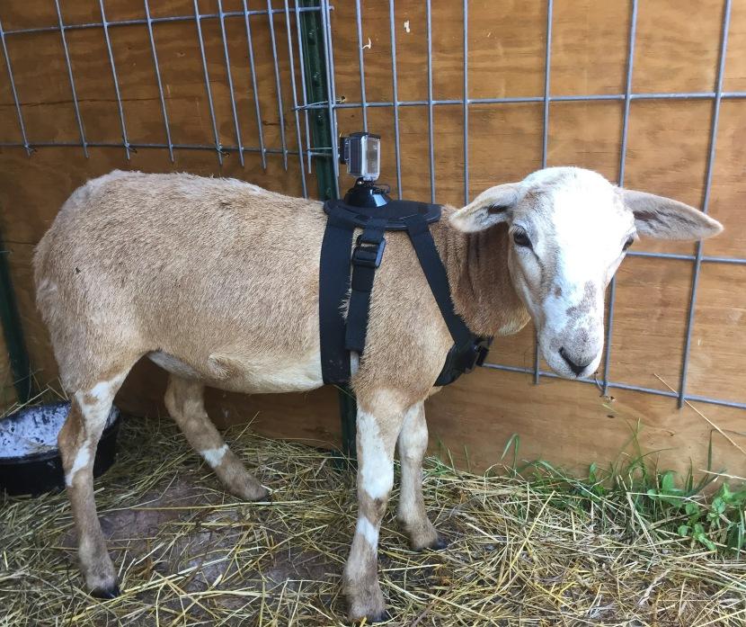 Sheep cam