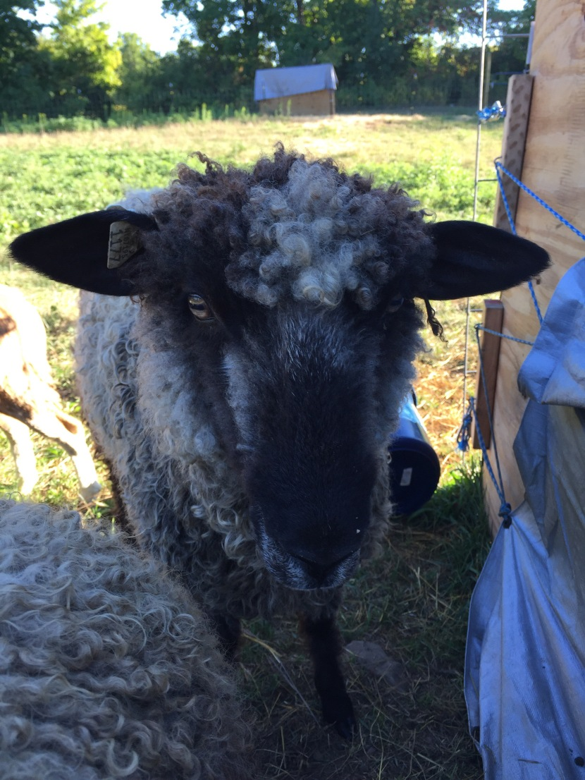 From a lamb's point ofview…